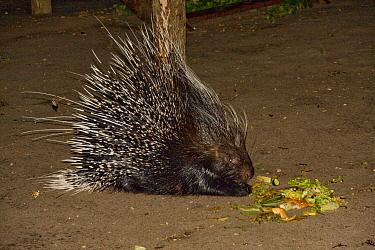 South African crested porcupine  -  David Hosking/ FLPA