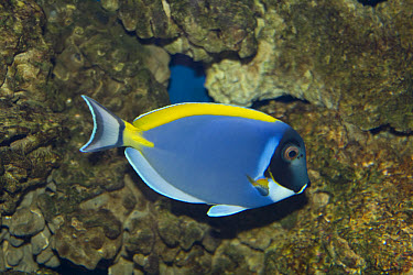 Powerblue or white throated surgeonfish, tropical coral reefs  -  David Hosking/ FLPA