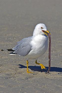 Ring-billed Gull (Larus delawarensis) adult, summer plumage, feeding on pipefish, Gulf Coast, Florida  -  Mark Newman/ FLPA