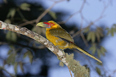 Saffron Toucanet (Baillonius bailloni) adult, perched on branch, Brazil  -  Mike Lane/ FLPA