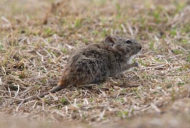 Abyssinian Grass Rat (Arvicanthis abyssinicus) adult, feeding on sparse vegetation, Bale Mountains, Oromia, Ethiopia  -  Neil Bowman/ FLPA