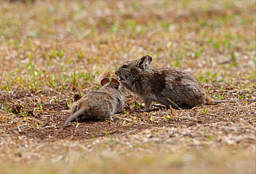 Abyssinian Grass Rat (Arvicanthis abyssinicus) adult with juvenile, feeding on sparse vegetation, Bale Mountains, Oromia, Ethiopia  -  Neil Bowman/ FLPA
