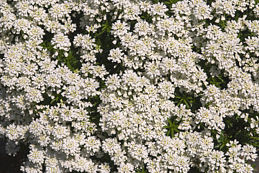 Edging Candytuft (Iberis sempervirens) close-up of flowers, in garden  -  M. Szadzuik , R. Zinck/ FLPA