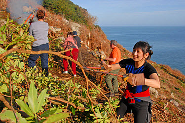 Volunteers clearing rhododendron, invasive species threatening to overwhelm native flora, Lundy, Bristol Channel, Devon, England, january  -  Nick Spurling/ FLPA
