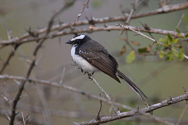 White-browed Fantail (Rhipidura aureola) adult, perched on twig, Mudumulai, Karnataka, India, february  -  John Holmes/ FLPA