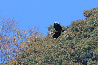 Rufous-necked Hornbill (Aceros nipalensis) adult male, in flight, Eaglenest Wildlife Sanctuary, Arunachal Pradesh, India, december  -  John Holmes/ FLPA