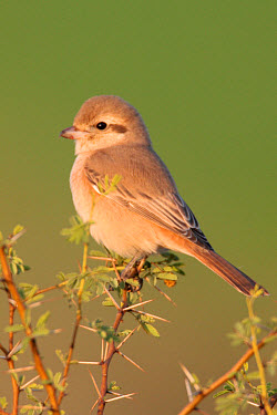 Rufous-tailed Shrike (Lanius isabellinus) juvenile, perched in thorn bush, Rajasthan, India  -  John Holmes/ FLPA