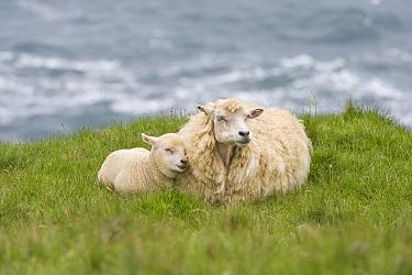Domestic Sheep, Shetland ewe with lamb, resting on coastal pasture, Hermaness, Unst, Shetland Islands, Scotland, june  -  Krystyna Szulecka/ FLPA