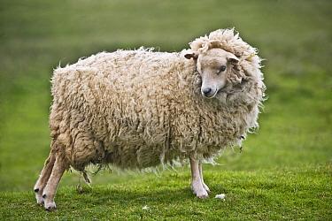 Domestic Sheep, Shetland ewe, standing on pasture, Hermaness, Unst, Shetland Islands, Scotland, june  -  Krystyna Szulecka/ FLPA