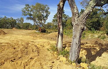 Cork Oak (Quercus suber) woodland being destroyed, coastal roadside strip development for villas, Pinarellu, southeast Corsica, France  -  Peter Wilson/ FLPA