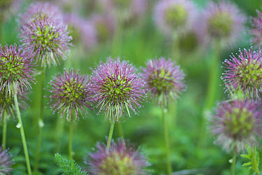 Two-spined Acaena (Acaena ovalifolia) fruits, introduced invasive species, Tadnol, Dorset, England  -  Nicholas and Sherry Lu Aldridge/