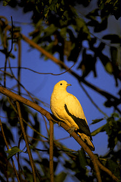 Pied imperial or nutmeg pigeon  -  Edward Myles/ FLPA