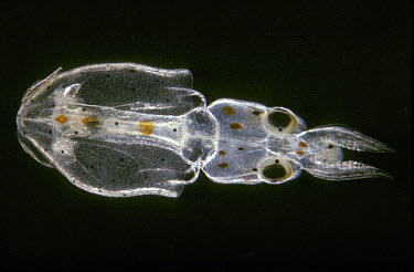 Dorsal view of newly hatched alloteuthis subulata  -  D.P. Wilson/ FLPA