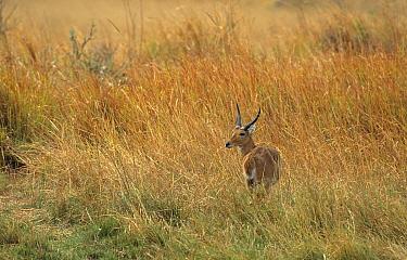 Southern Reedbuck (Redunca arundinum) adult male, standing in lon grass at riverside, Okavango Delta, Botswana  -  Michael Callan/ FLPA
