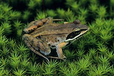 Wood Frog (Rana sylvatica) adult, sitting on moss  -  Larry West/ FLPA