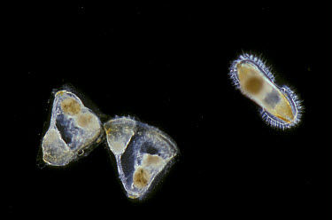 Plankton (Electra pilosa) Cyphonautes larval,one gliding gliding over bottom prior to settling  -  D.P. Wilson/ FLPA
