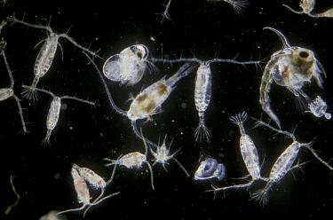 Marine Plankton (Autumn) several acartia etc x ,  -  D.P. Wilson/ FLPA