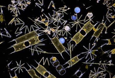 Marine Phytoplankton Various species of fiatoms especially Biddulphia sihensis & Thalassiothroy  -  D.P. Wilson/ FLPA