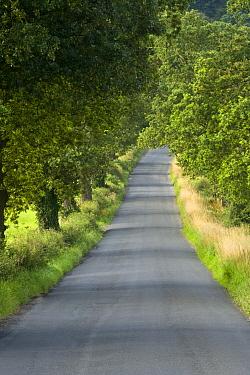Avenue of trees along road, Eccup Lane, Weardley, Leeds, West Yorkshire, England, august  -  Krystyna Szulecka/ FLPA