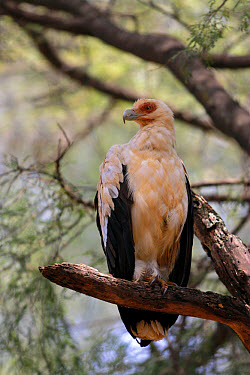 Palm-nut Vulture (Gypohierax angolensis) adult, perched on branch, Samburu, Kenya  -  Martin Withers/ FLPA