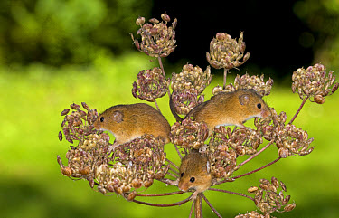 Harvest Mouse (Micromys minutus) three adults, climbing on Alexanders (Smyrnium olusatrum) seedhead, Norfolk, England  -  Roger Tidman/ FLPA