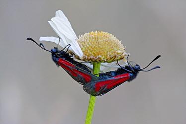 Transparent Burnet (Zygaena purpuralis) adult pair, mating, on daisy flower, Hungary  -  Martin Withers/ FLPA
