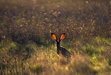 Blacktailed Jackrabbit  -  Edward Myles/ FLPA