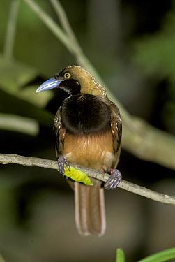 Raggiana Bird of Paradise, Paradisaea raggiana also known as Count Raggi's Bird of Paradise, female  -  Edward Myles/ FLPA