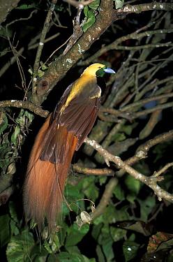 Raggiana Bird of Paradise, Paradisaea raggiana also known as Count Raggi's Bird of Paradise  -  Edward Myles/ FLPA