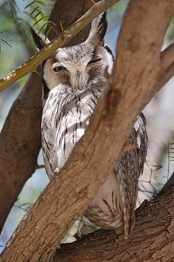 Southern White-faced Owl (Ptilopsis granti) adult, roosting in tree, Kalahari, South Africa  -  Andrew Forsyth/ FLPA