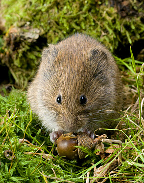 Field Vole (Microtus agrestis) adult, feeding on fallen acorn, West Sussex, England  -  Derek Middleton/ FLPA