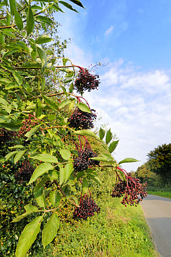 European Elder (Sambucus nigra) fruit, growing at roadside, Norfolk, England  -  Gary K Smith/ FLPA