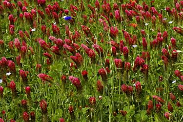 Crimson Clover (Trifolium incarnatum) flowering, planted as fodder crop, France  -  Bob Gibbons/ FLPA