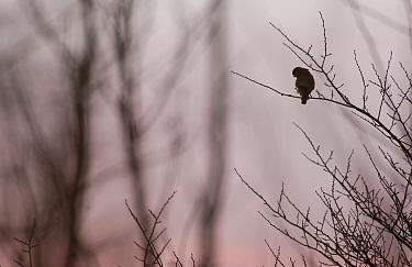 Eurasian Kestrel (Falco tinnunculus) adult, perched on roadside tree at dusk, Derbyshire, England  -  Andrew Parkinson/ FLPA