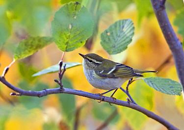 Inornate Warbler (Phylloscopus inornatus) adult, scarce autumn vagrant, perched on twig, Finland  -  Harri Taavetti/ FLPA