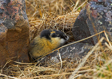Norway Lemming (Lemmus lemmus) adult, standing on rock, Northern Norway  -  Harri Taavetti/ FLPA