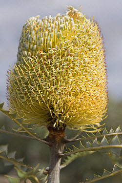 Showy Banksia (Banksia speciosa) flowering, 'compass effect' with more flowers opened on sunny side, Fitzgerald River National Park, Western Australia  -  Krystyna Szulecka/ FLPA