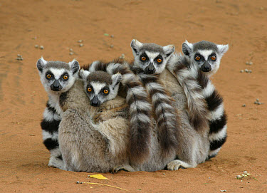 Ring-tailed Lemur (Lemur catta) four adults, sitting on ground, huddled together, Berenty, Madagascar  -  Martin Withers/ FLPA