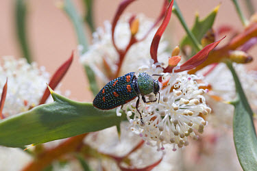 Jewel Beetle (Stigmodera sp) adult, feeding on Shining Hakea (Hakea nitida) flower, Fitzgerald River National Park, Western Australia  -  Krystyna Szulecka/ FLPA