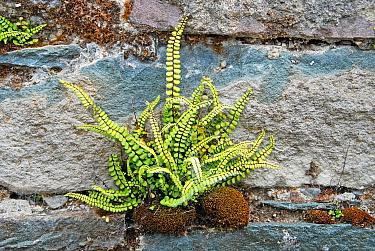 Maidenhair Spleenwort (Asplenium trichomanes) growing from crack in wall, Ireland  -  Roger Wilmshurst/ FLPA