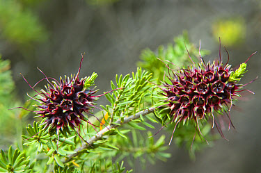 Myrtle Tree (Kunzea sp) close-up of seedpods, Esperance to Raventhorpe roadside, Western Australia  -  Krystyna Szulecka/ FLPA