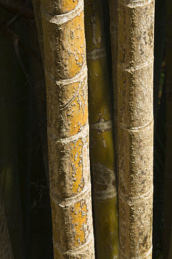 Areca Palm (Dypsis lutescens) close-up of stems, George Brown Botanic Gardens, Darwin, Northern Territory, Australia  -  Krystyna Szulecka/ FLPA