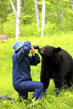 Black Bear (Ursus americanus) adult, investigating photographer, Minnesota  -  Jurgen and Christine Sohns/ FLPA