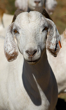 Domestic Goat, White-headed Boer, adult, close-up of head, Eastern Cape Province, South Africa  -  Chris & Tilde Stuart/ FLPA