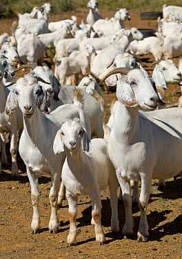 Domestic Goat, White-headed Boer, herd, adults and young, Eastern Cape Province, South Africa  -  Chris & Tilde Stuart/ FLPA