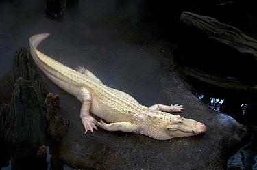 American Alligator (Alligator mississippiensis) albino, adult, resting, captive  -  Mark Newman/ FLPA