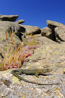Bedriaga's Rock Lizard (Archaeolacerta bedriagae) adult, basking on rock in habitat, Sardinia, Italy  -  Fabio Pupin/ FLPA
