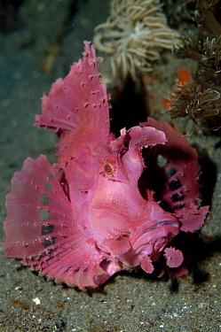 Popeyed Scorpionfish (Rhinopias frondosa) pink adult, on sand, Lembeh Island, Sulawesi, Indonesia  -  Colin Marshall/ FLPA