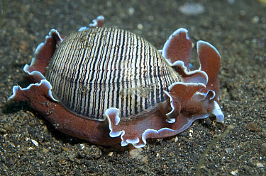 Brown-lined Paper Bubble (Hydatina physis) adult, on black sand, Lembeh Island, Sulawesi, Indonesia  -  Colin Marshall/ FLPA