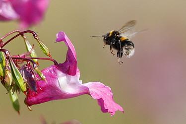 White-tailed Bumblebee (Bombus lucorum) adult, in flight to Himalayan Balsam (Impatiens glandulifera), Peak District, Derbyshire, England  -  Paul Hobson/ FLPA